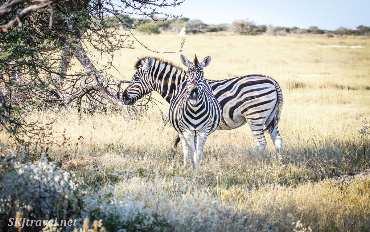 Two zebras in a thicket, Etosha national park, Namibia.