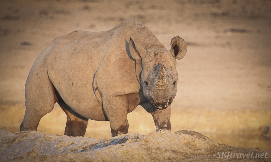 Young black rhino cresting a ridge at a water hole in Etosha NP, Namibia. #JustOneRhino