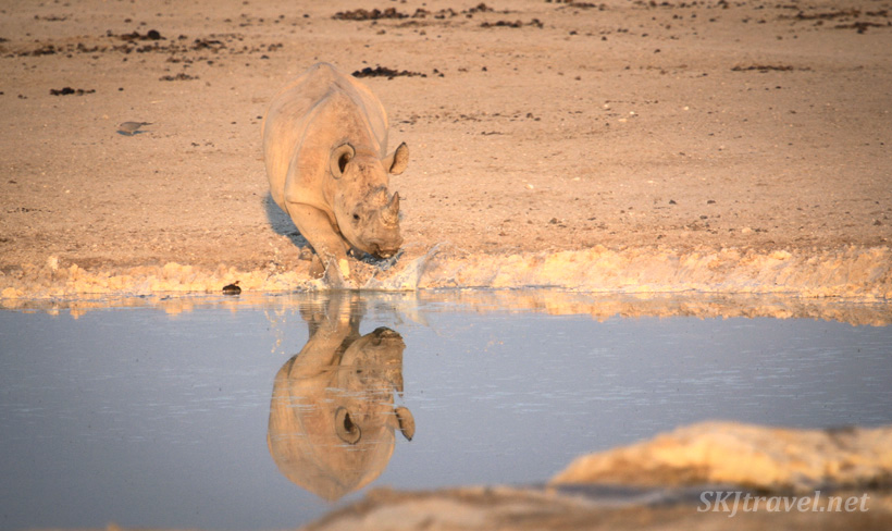 Young black rhino splashing water at his reflection at a water hole in Etosha NP, Namibia. #JustOneRhino