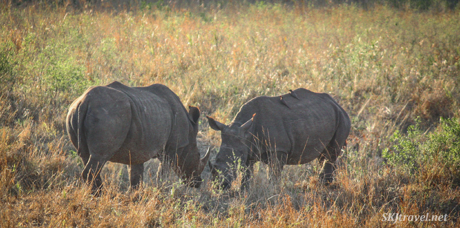 Two rhinos in a meadow. South Africa. #JustOneRhino