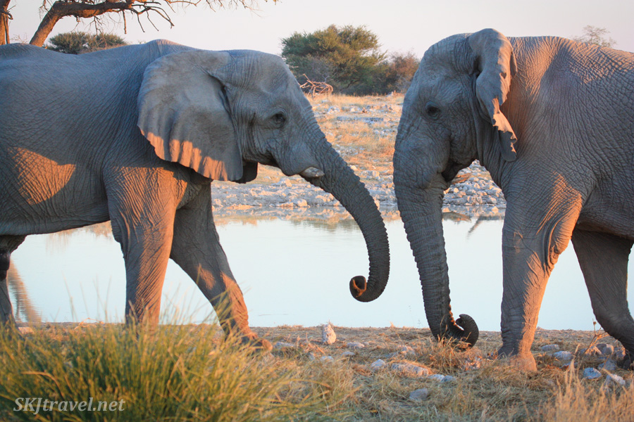 Two male elephants testing each other out, about to tussle, at a water hole in Etosha NP, Namibia.