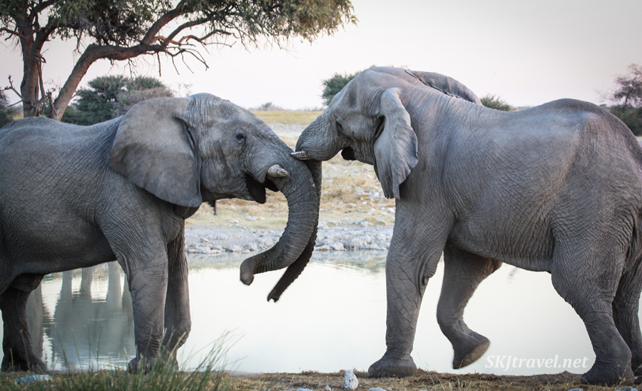 And ... contact! Two male elephants gently sparring at a water hole in Etosha NP, Namibia.