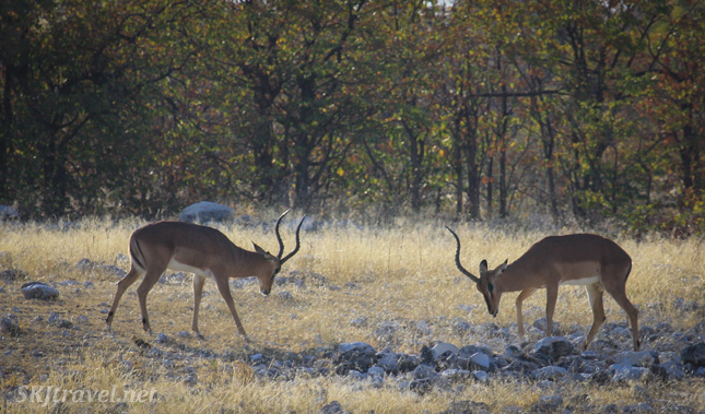 Two male impala preparing to spar, one sporting only a single full-sized horn. Etosha NP, Namibia.