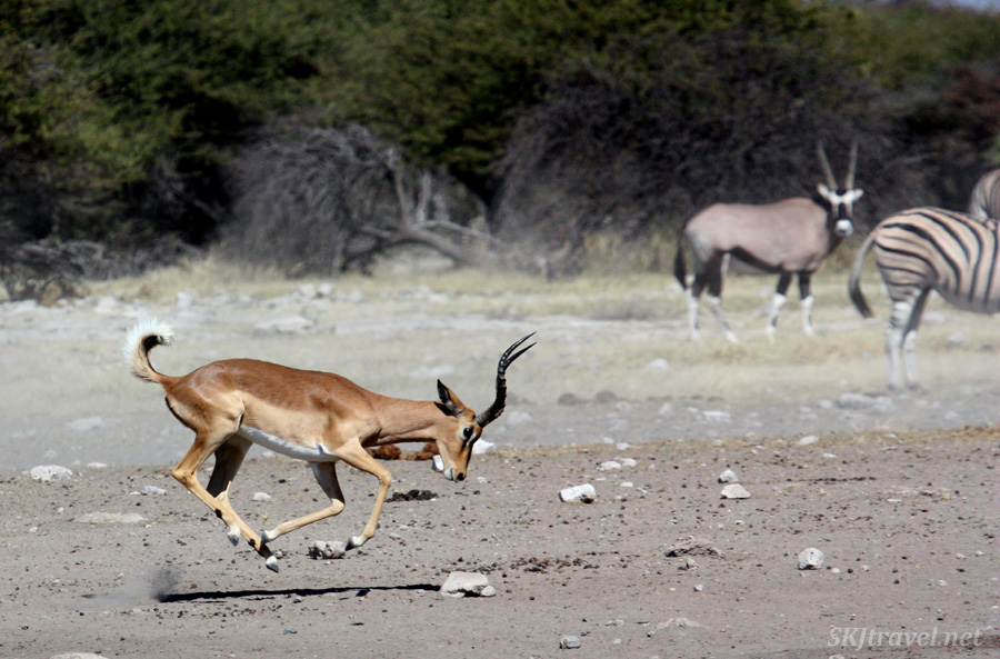 Sproing! Male impala getting a running start to clash heads with his foe. Etosha NP, Namibia.