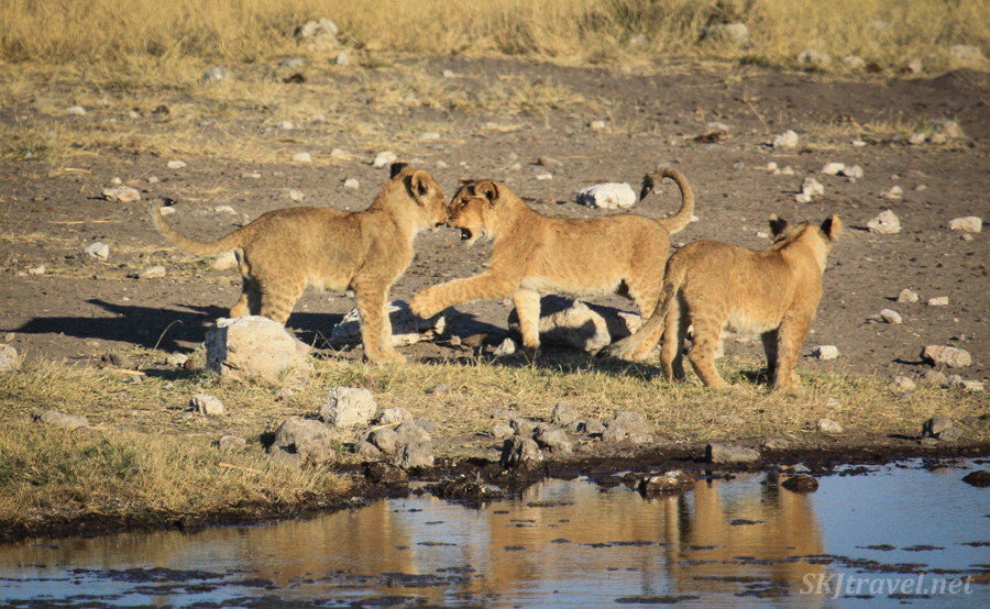 Three lion cubs playing with each other at a water hole, Etosha NP, Namibia.