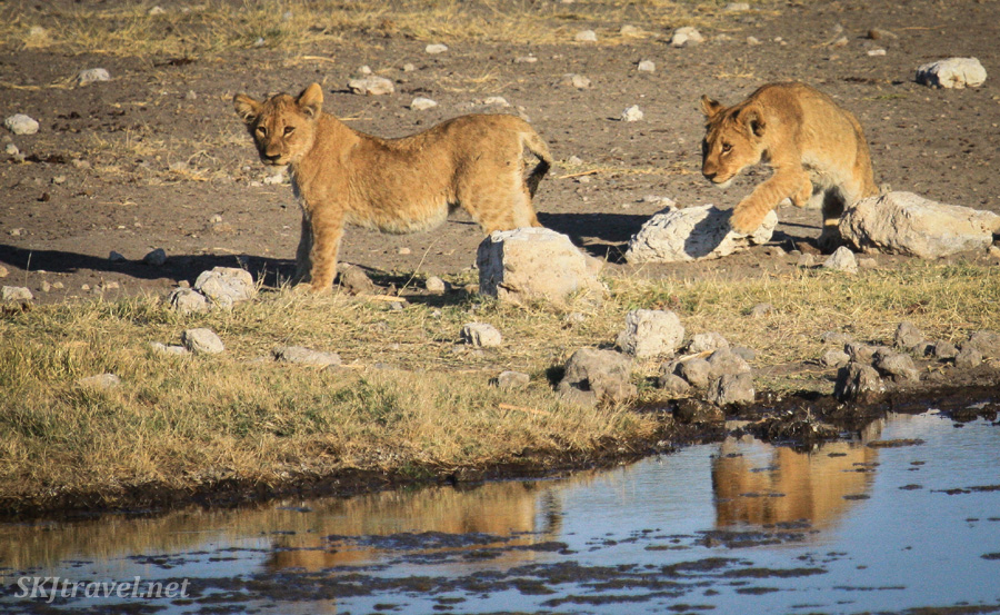 Lion cub pouncing on a sibling from behind a rock. At a water hole in Etosha NP, Namibia.