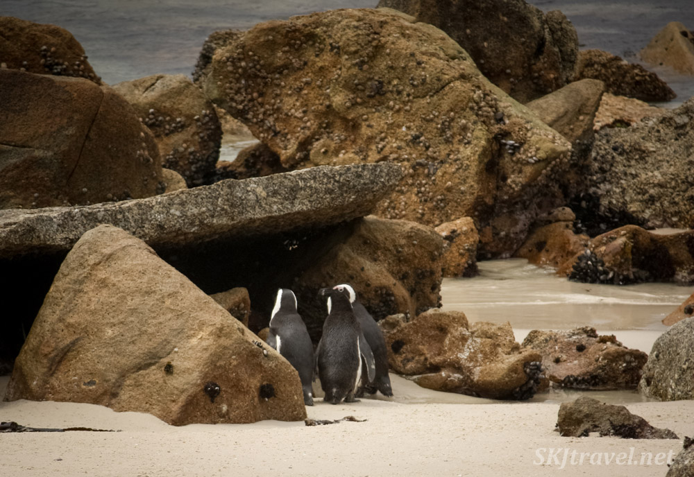 Penguins holding a club meeting. Boulder Beach, Cape Town, South Africa.