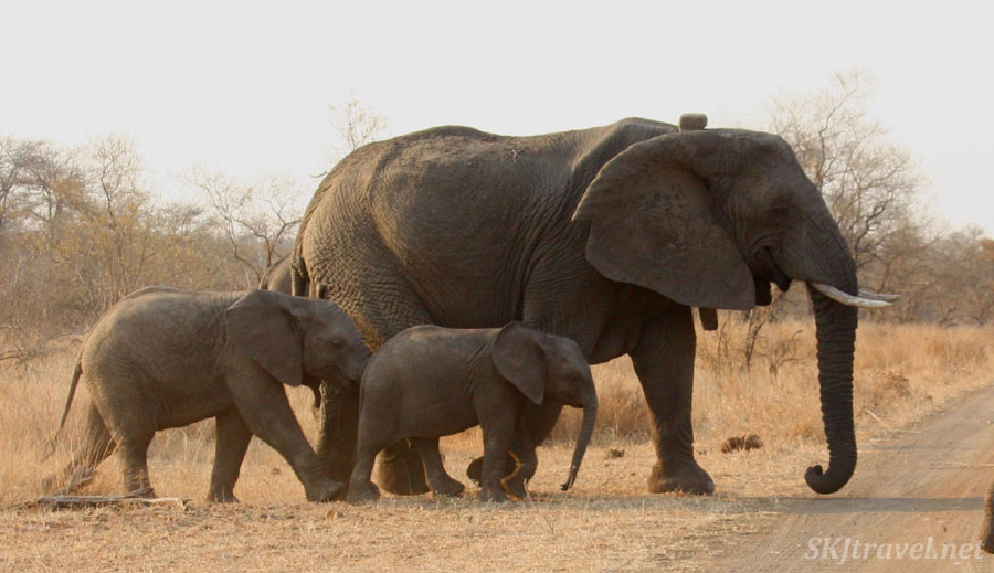 Mother elephant and two babies