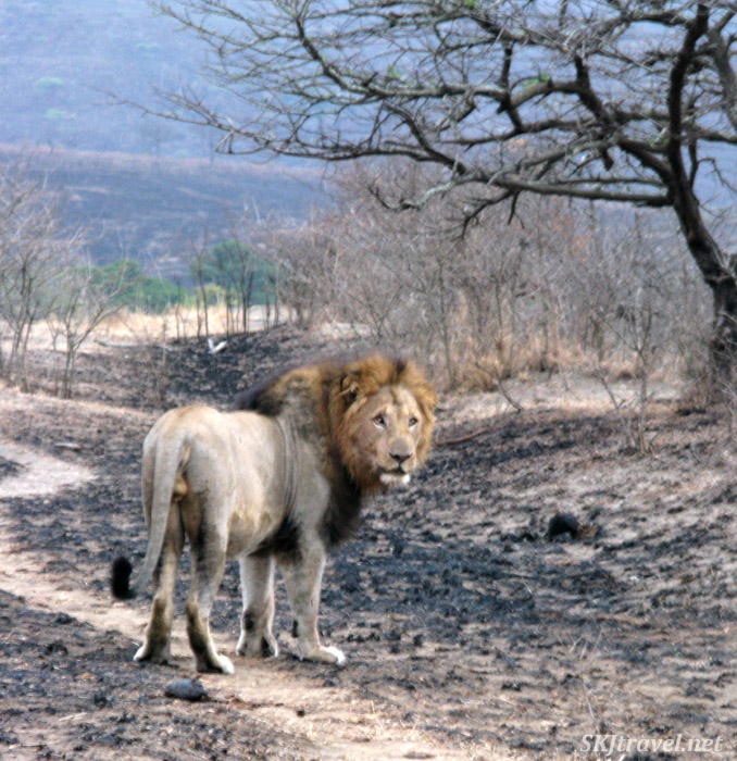 Lone elderly male lion.