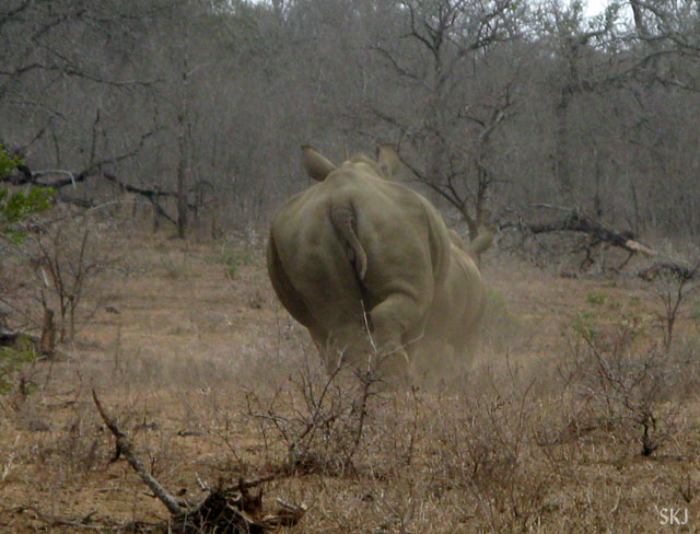 White rhino running away.
