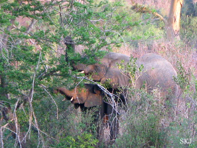 Mother elephant and baby eating tree leaves