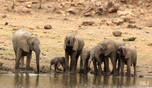 group of elephants at lake