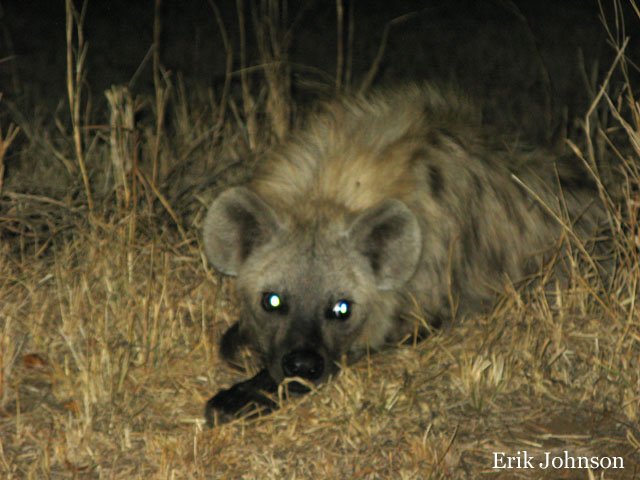 hyena at night lying down in weeds