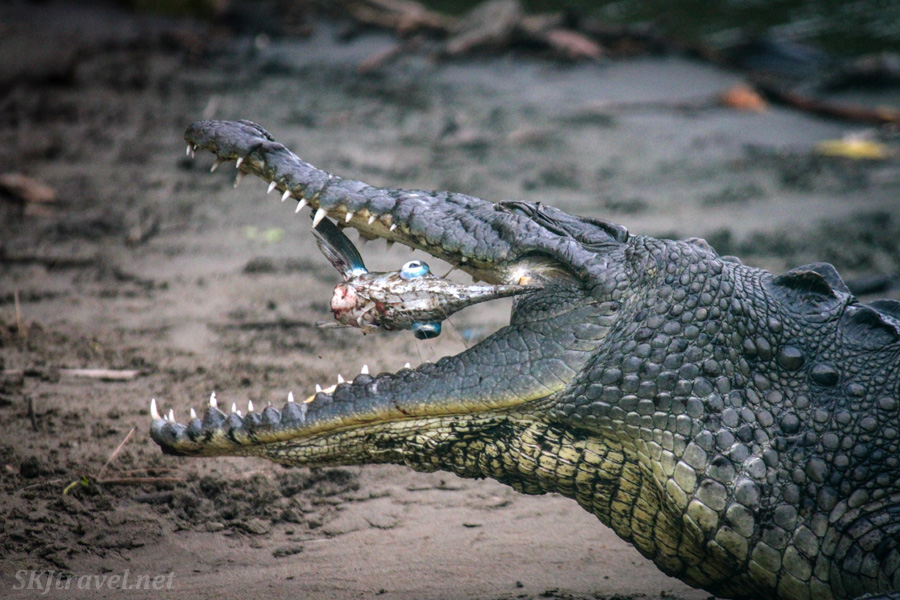American crocodile lunching on a fish at Popoyote Lagoon, Ixtapa, Mexico.