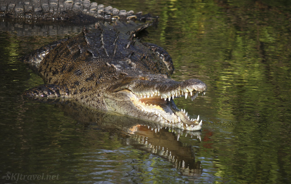 American crocodile showing of his teeth, reflecting in the water of Popoyote Lagoon at Playa Linda, Ixtapa, Mexico.