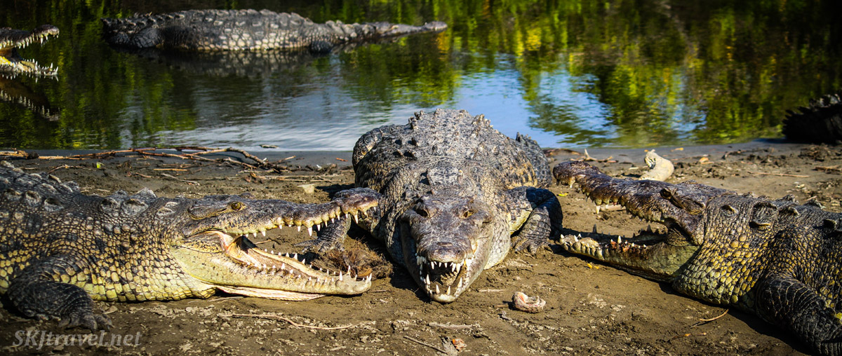 Trio of American crocodiles on the shore of the Popoyote Lagoon at Playa Linda, Ixtapa, Mexico.