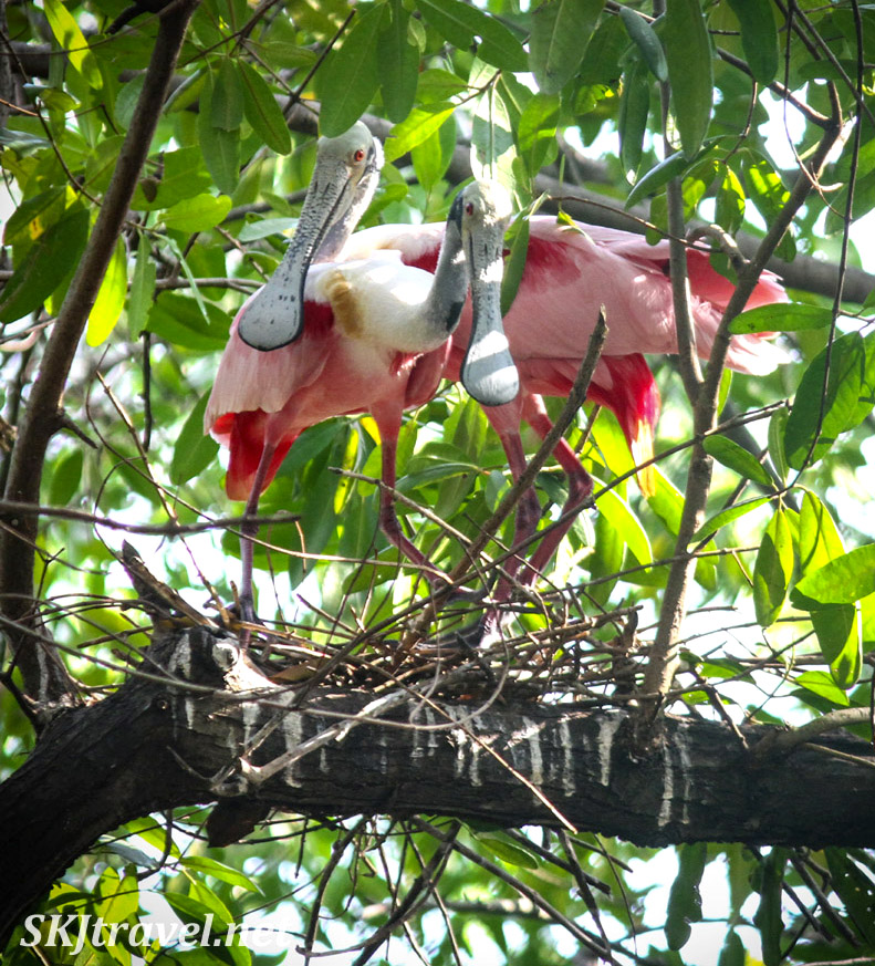 Roseate spoonbills putting together a new nest in the dense trees of Popoyote Lagoon at Playa Linda, Ixtapa, Mexico.