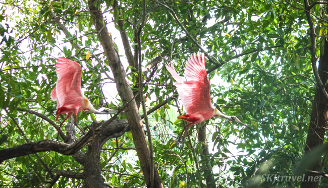 Roseate spoonbills in flight in dense mangrove foliage, Popoyote Lagoon, Ixtapa, Mexico.