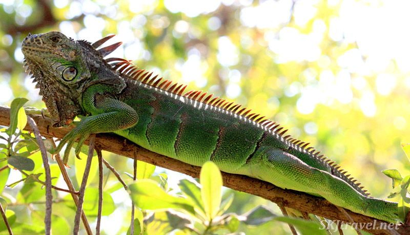 Bright green female iguana on a tree branch. Popoyote Lagoon, Playa Linda, Ixtapa, Mexico.