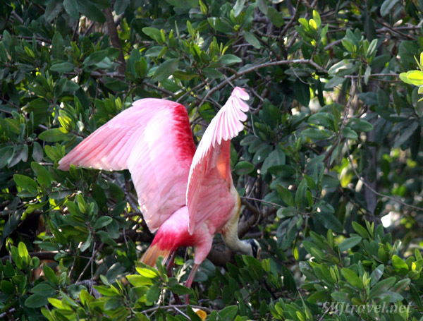 Roseate spoonbill landing in the trees after flight. Popoyote Lagoon, Playa Linda, Ixtapa, Mexico.