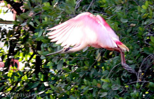 Spoonbill bird in flight. Ixtapa, Mexico