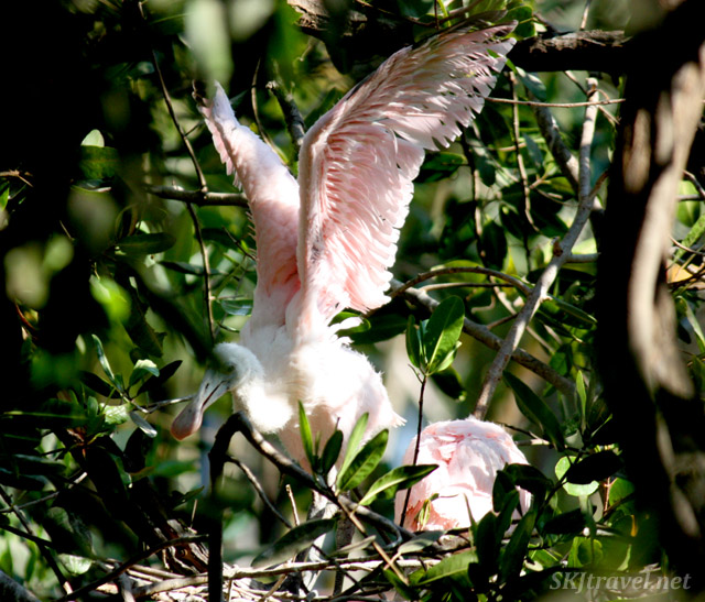 Juvenile roseate spoonbill bird spreading its wings. Popoyote Lagoon, Playa Linda, Ixtapa, Mexico.