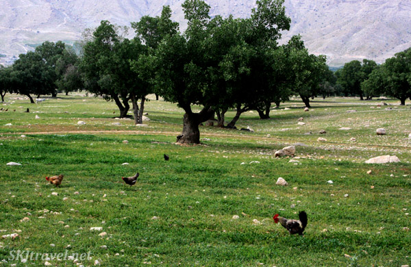 Cypress tress and chickens ... Qashqai territory in the Zagros Mountains, Iran.