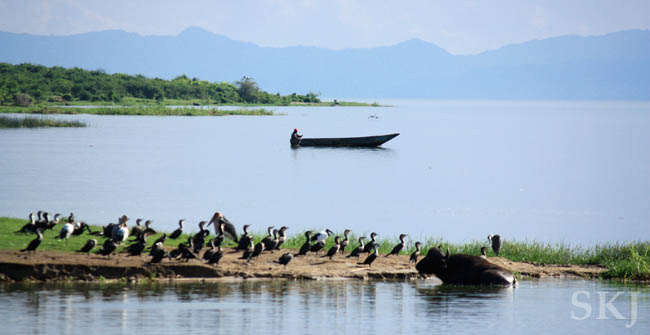 Man in a skiff in the Kazing Chaneel with lots of birds on the shore. Queen Elizabeth National Park, Uganda.