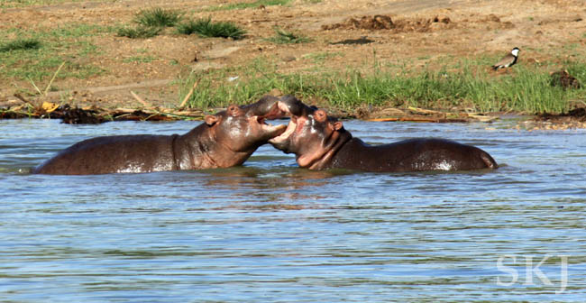 Two hippos play fighting with mouths wide open in the Kazinga Channel, Queen Elizabeth National Park, Uganda.