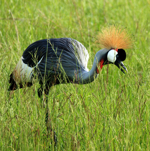 Grey crowned crane, Queen Elizabeth NP Uganda