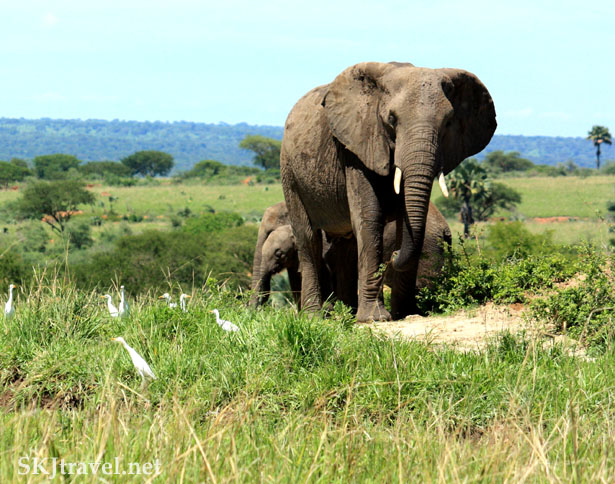 An elephant approaches me in Murchison Falls National Park, Uganda.