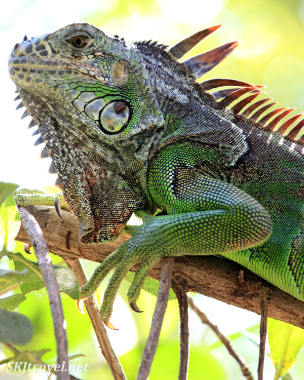 Iguana resting on a tree limb, Ixtapa, Mexico