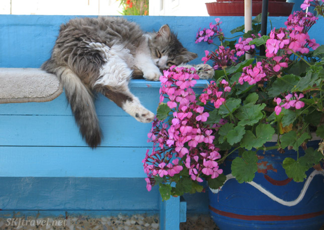Gray and white kitty sleeping on a blue bench with bright pink flowers. Hydra Island, Greece.