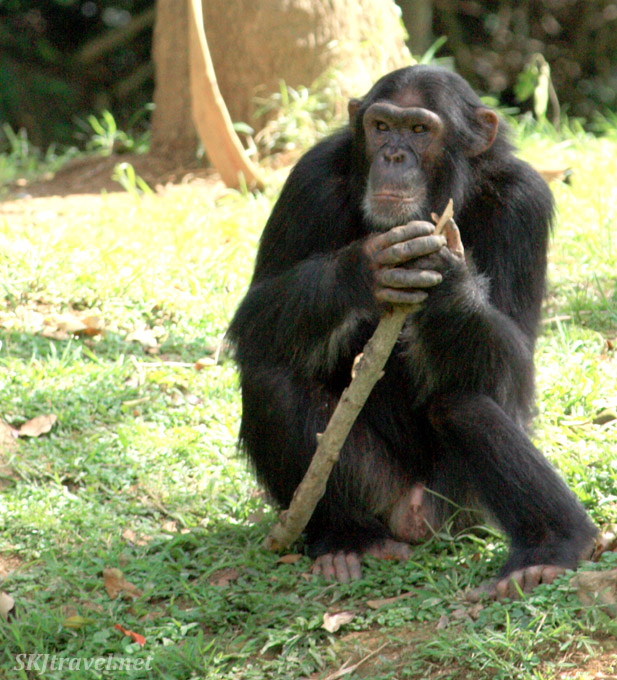 Onapa the chimp contemplates life with his stick. Uganda.