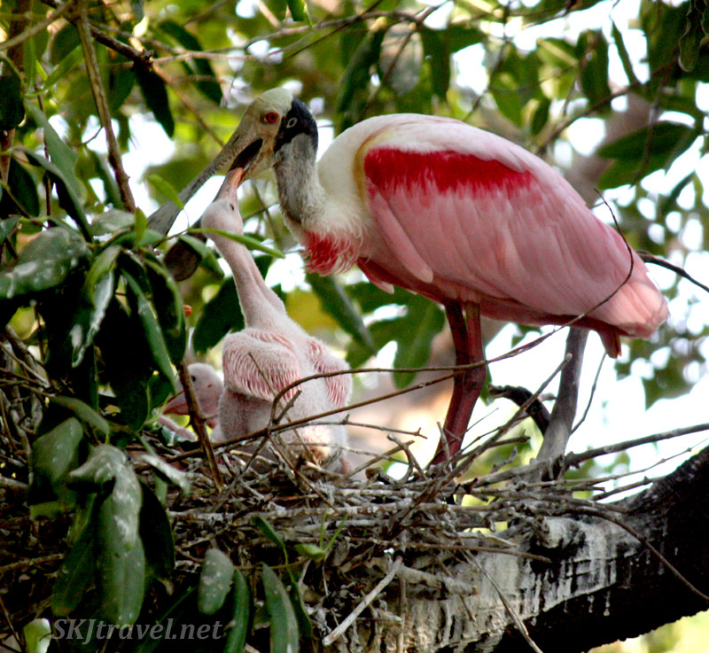Spoonbill bird parent feeding a chick from its mouth in its nest. Ixtapa, Mexico.