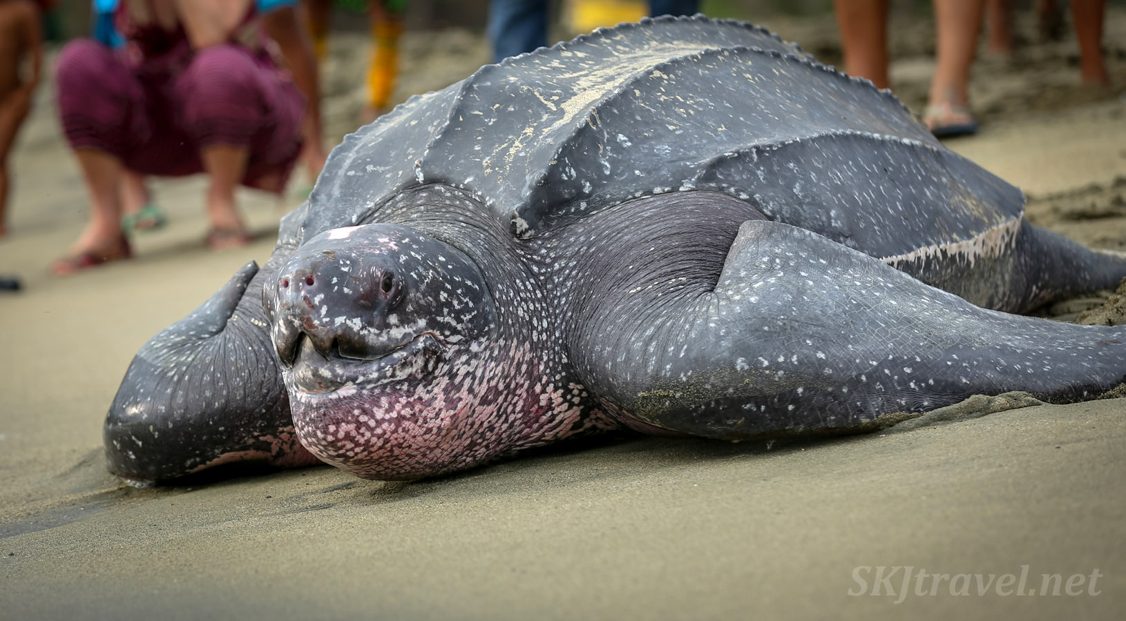 Female leatherback turtle making her way back to ocean after laying her eggs. Armila, Guna Yala, Panama.