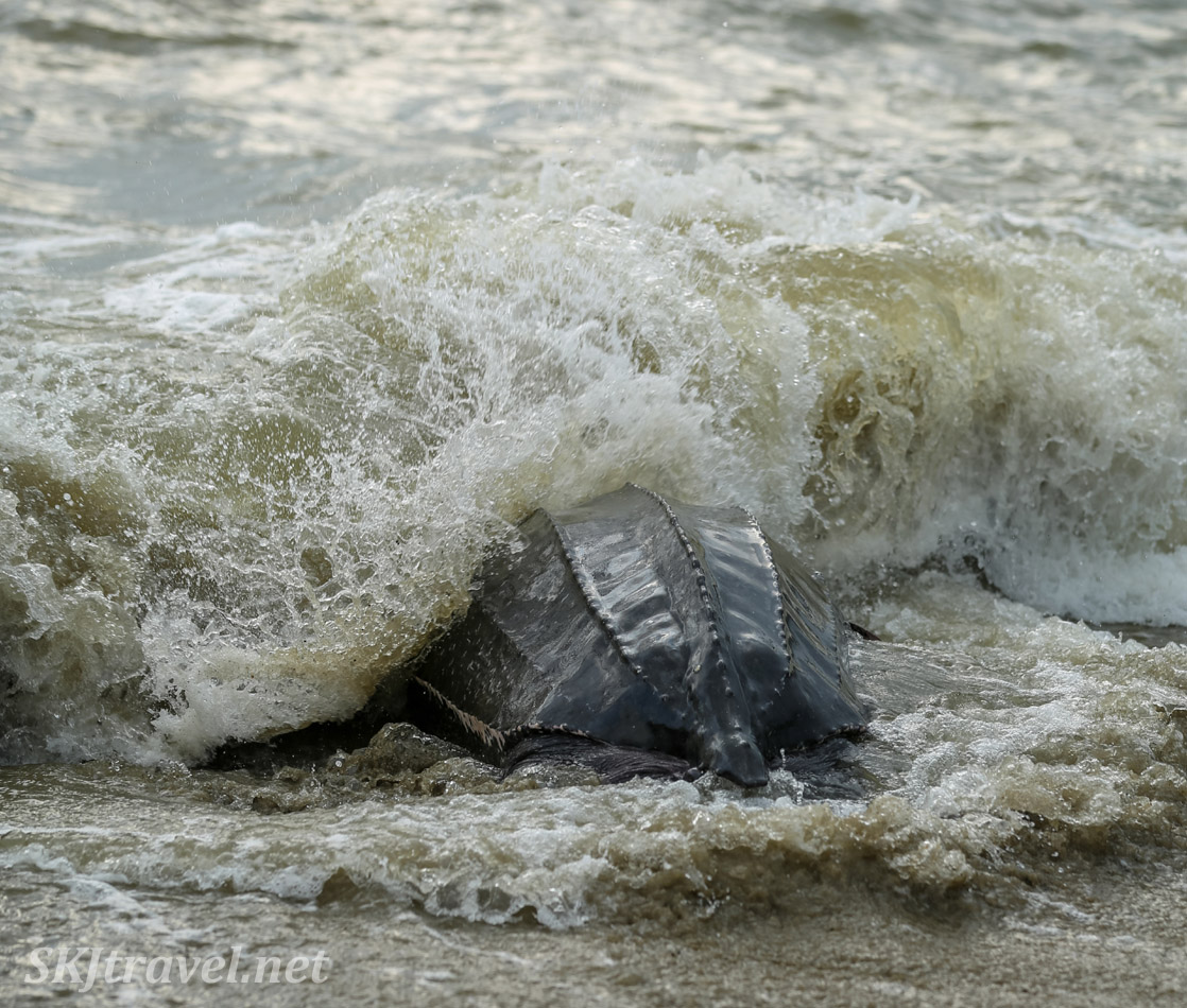 Female leatherback turtle entering back into the ocean after laying her eggs. Armila, Guna Yala, Panama.