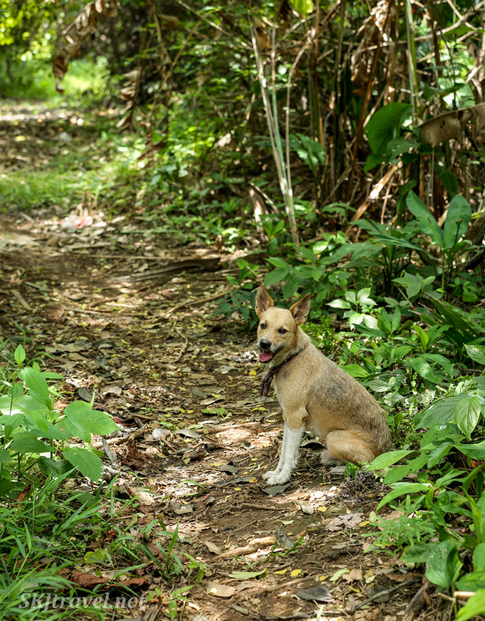 My dog pal, Buddy, accompanying me into the jungle, waiting for me on the path. Armila, Panama.