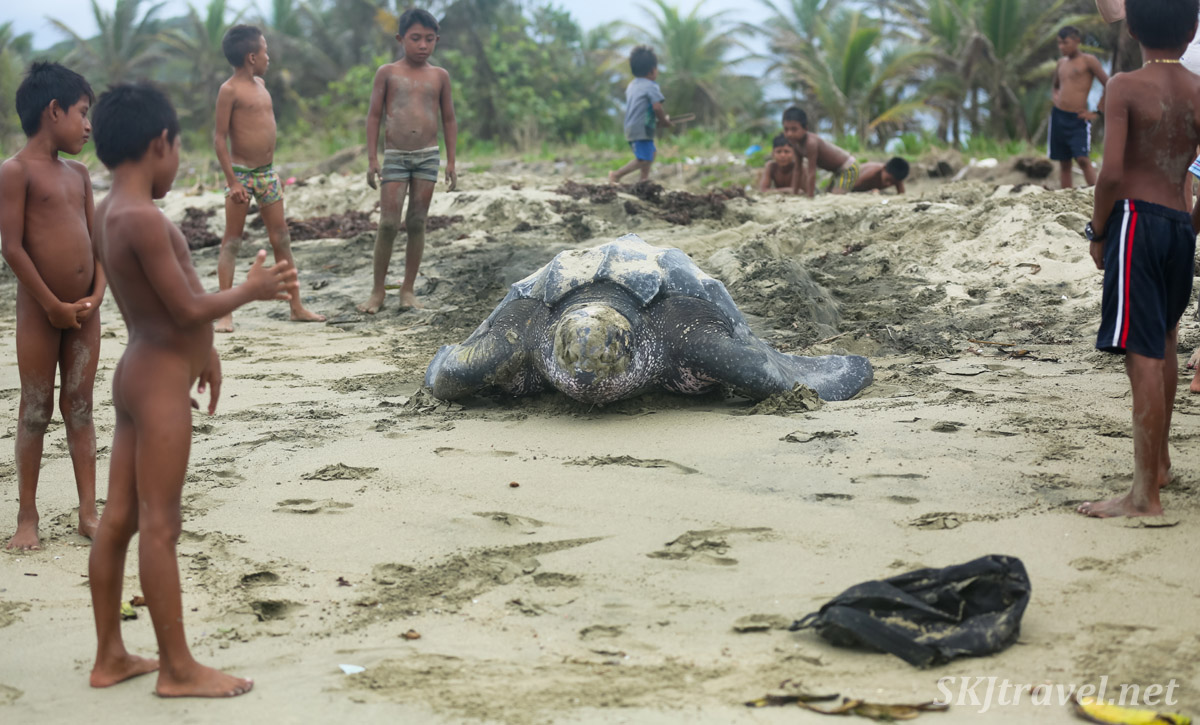 Leatherback turtle digging her nest on the beach, with children gathered round, at Armila, Guna Yala, Panama.