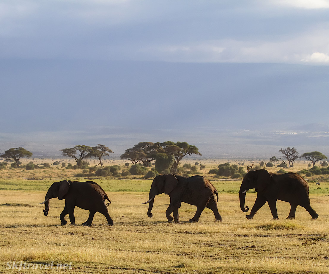 Three elephants walking across the plains of Amboseli beneath Mt Kilimanjaro.