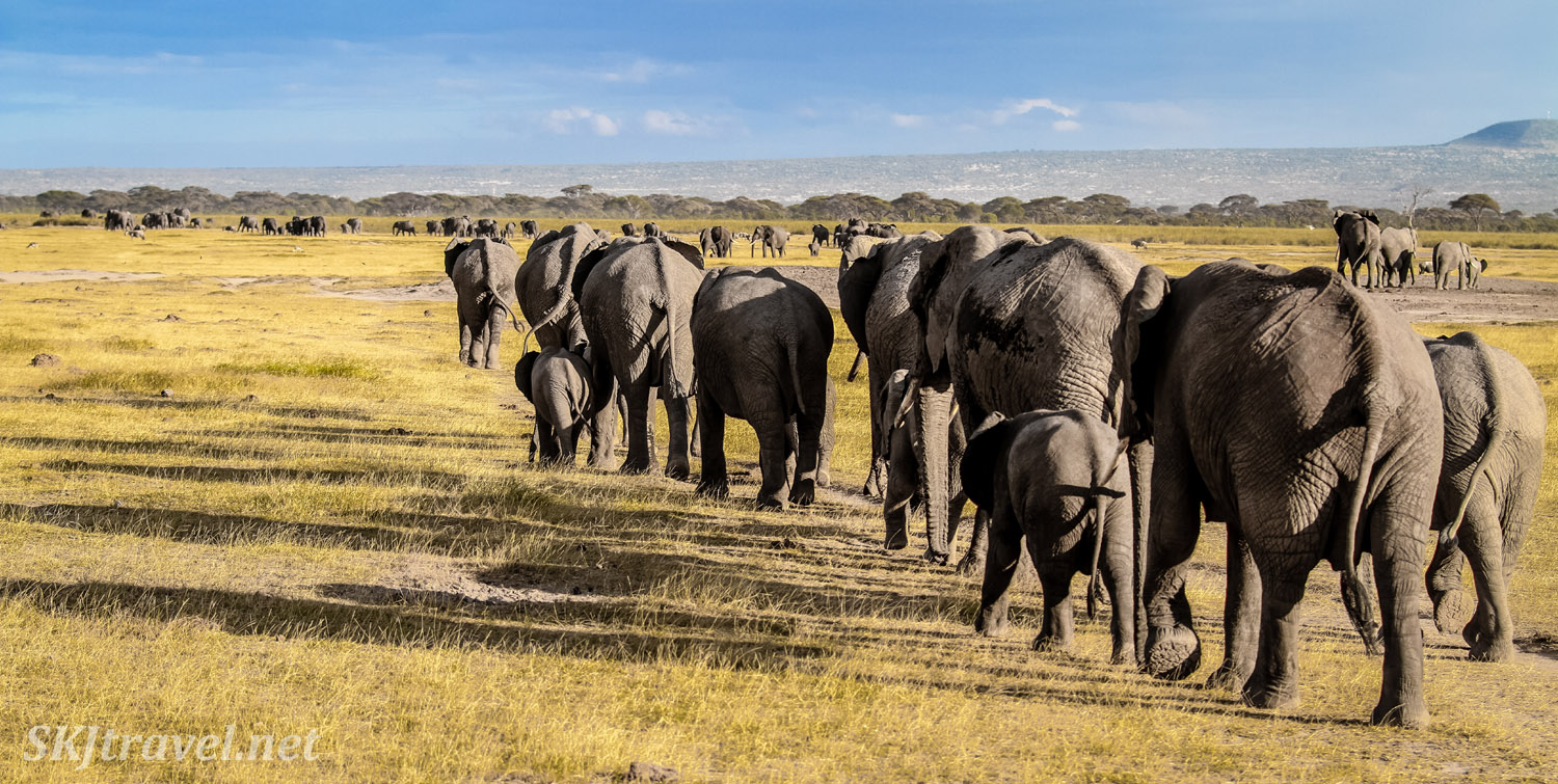 Line of elephants in the late day golden light near dusk, Amboseli, Kenya.