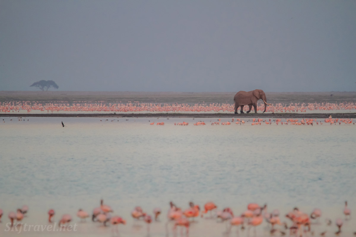 Lone elephant among pink flamingos in the pre-dawn. Amboseli, Kenya.