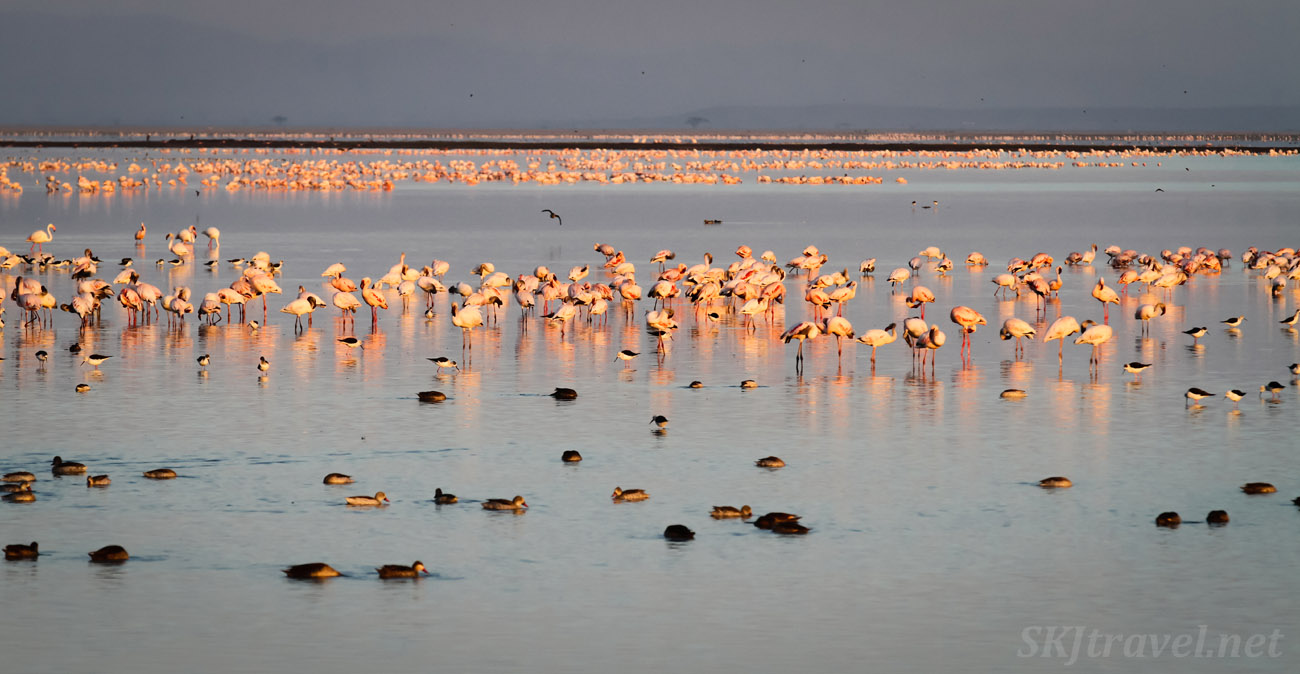 Waters full of pink flamingos at dawn, Amboseli, Kenya.
