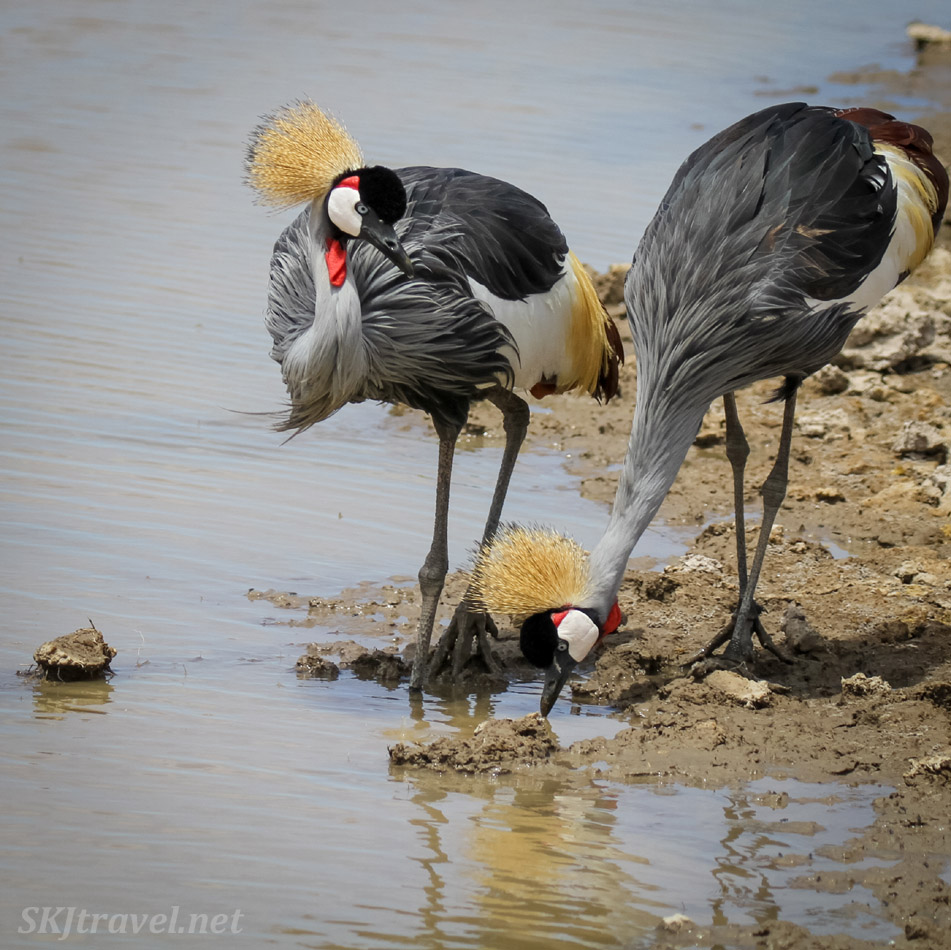 Pair of gray crowned cranes drinking at water's edge, Amboseli, Kenya.