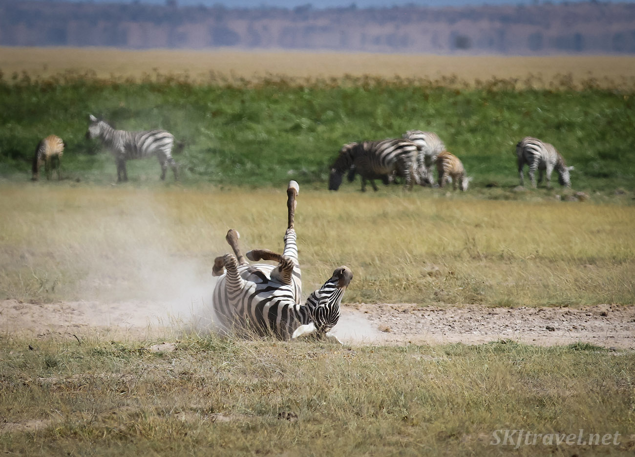 Zebra rolling on its back, Amboseli, Kenya.
