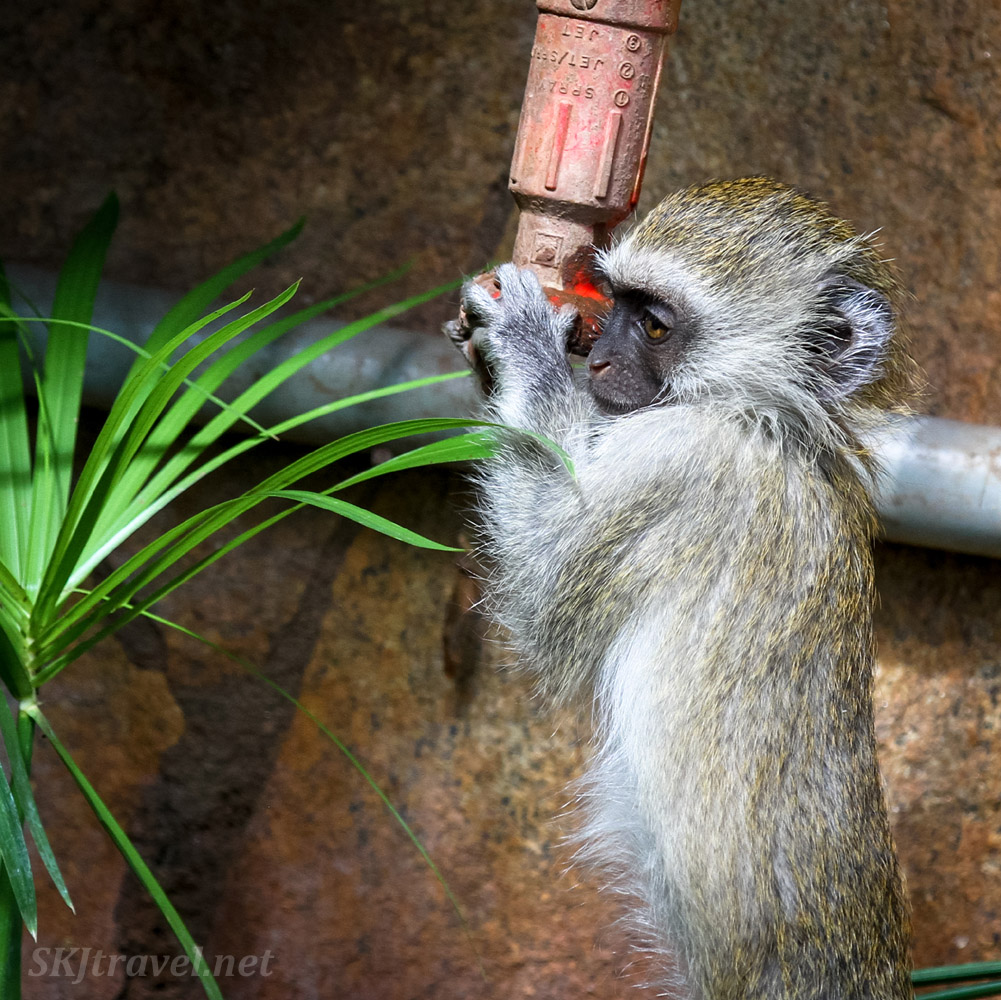 Vervet monkey drinking from a water spigot. Ol Tukai Lodge, Amboseli, Kenya.