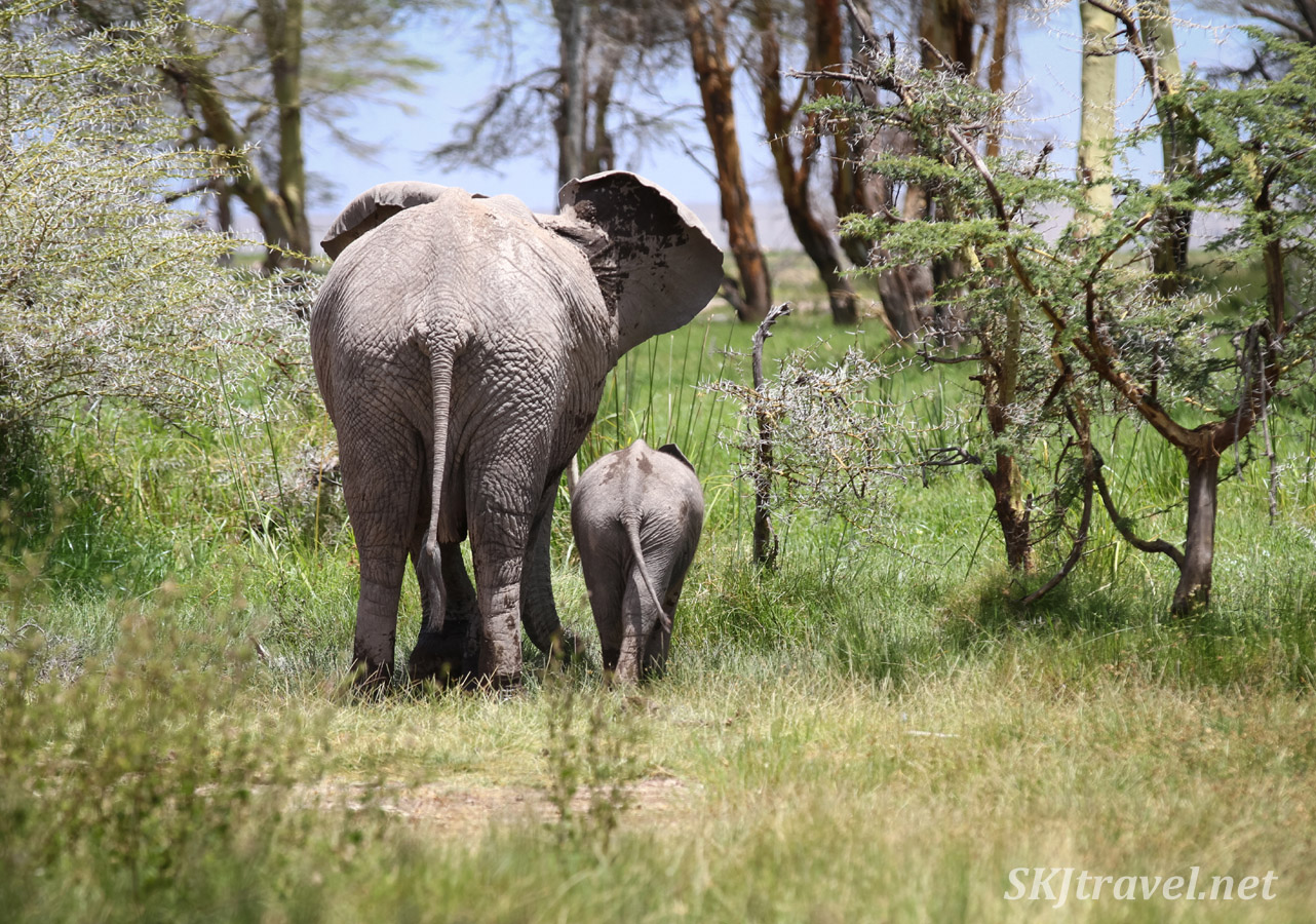 Mom elephant and baby walking away near Ol Tukai Lodge, Amboseli, Kenya.