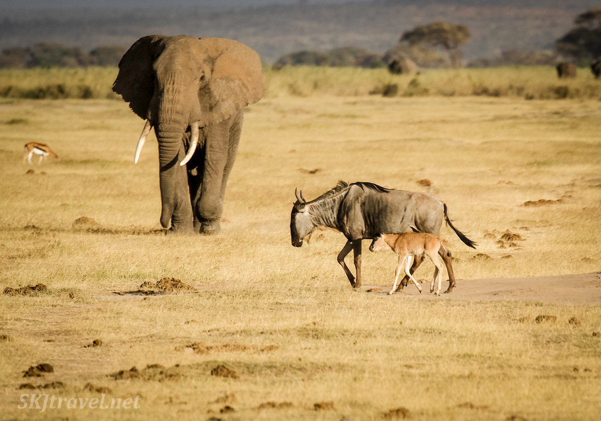 Mother wildebeest and baby walking in front of an elephant, Amboseli, Kenya.