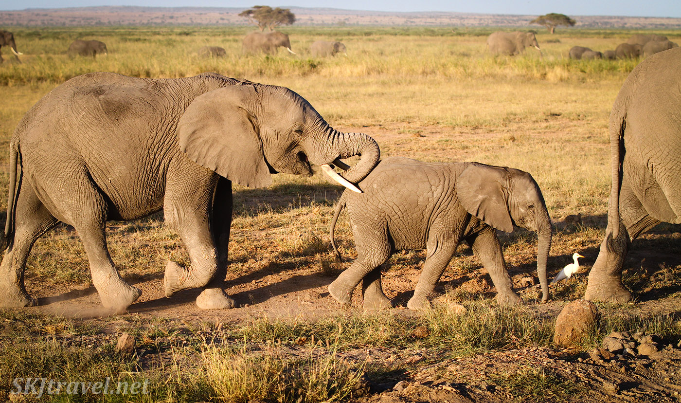 Young elephants walking beside the safari vehicle with an egret beside them. Amboseli, Kenya.