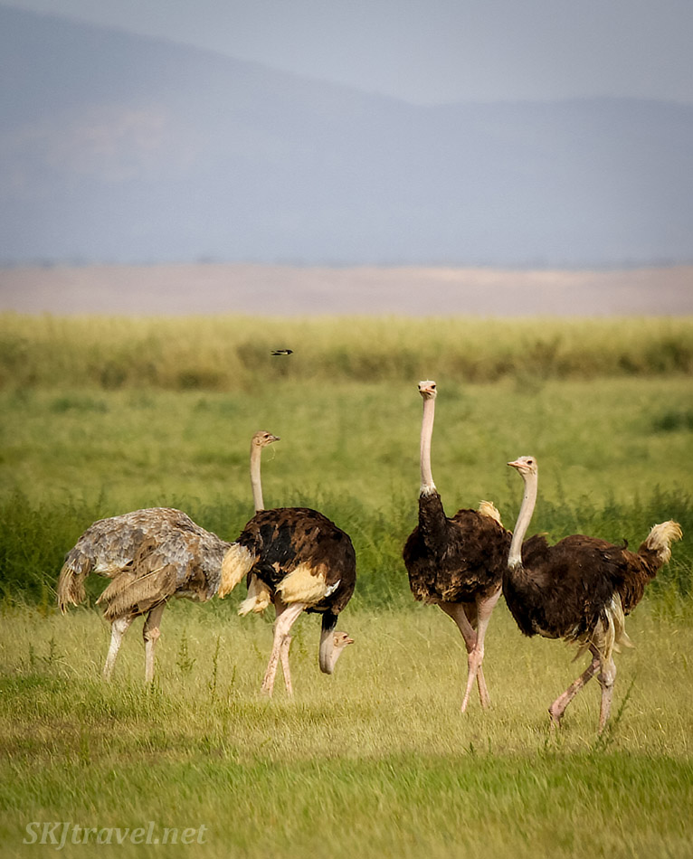 Group of male and female ostriches on the plains of Amboseli, Kenya.